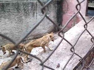 Leones en zoológico de Camagüey, en 2012